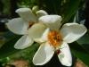 Livingston_ gardenia