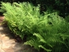 Livingston_custom stone path with native fern bed