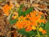 Livingston_native butterfly weed