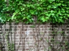 Livingston_vine over brick wall